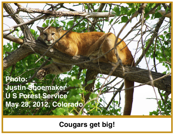 Cougar INT.png